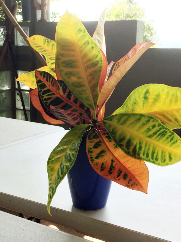 photo of Croton Leaves