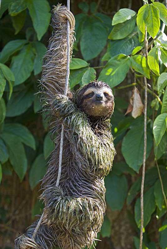Sloth on Vine - photo