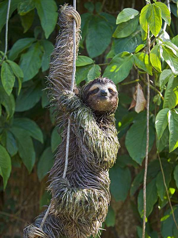 Sloth on a vine